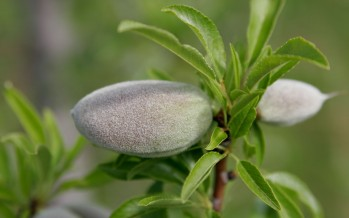 Samangan's almond production up by 20%
