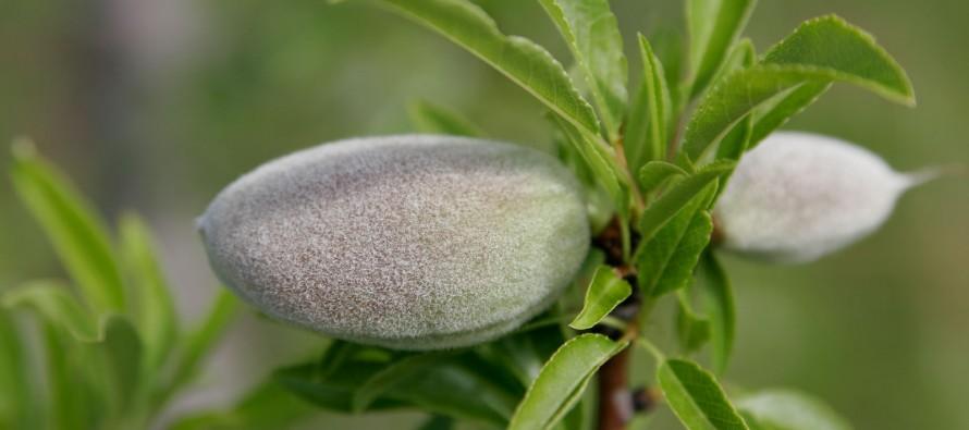 Samangan's almond production up by 20%