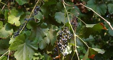Grape production drops in Herat