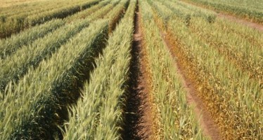 Timely rains boost wheat production in Badghis