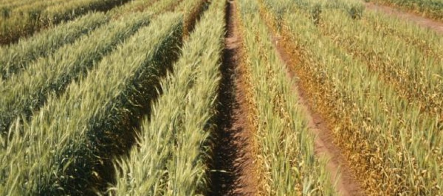Helmand farmers switching to wheat cultivation