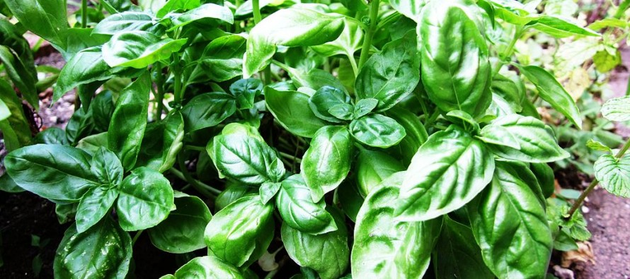 Helmand farmers witness heavy basil production this year