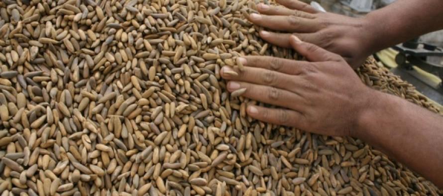 Paktika pine nuts trade in shambles