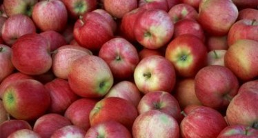 Paktiya farmers in search of market for their increased apple production