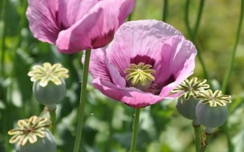 Two Papers On Poppy Cultivation in Rural Helmand From Varying Perspectives