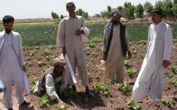 Agriculture yield in Balkh up by 30%