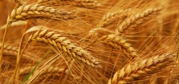 """Taliban's """"Work for Wheat"""" Program To Provide 40,000 Jobs in Kabul"""