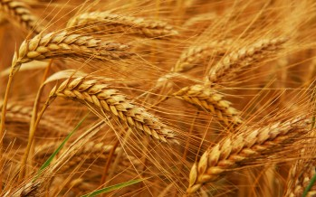 Two-fold increase in wheat yield in Farah province