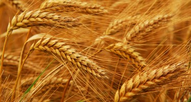 Refined wheat seeds distributed to farmers in Badakhshan