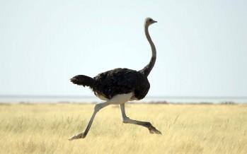 Herat farmers start ostrich farming industry