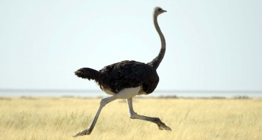 Herat farmers start ostrich farming industry