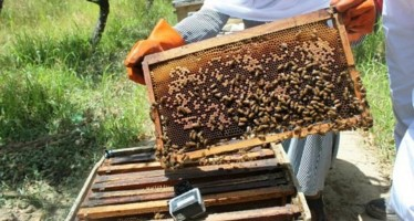 Nangarhar Honey Production Up by 150 Tons This Year