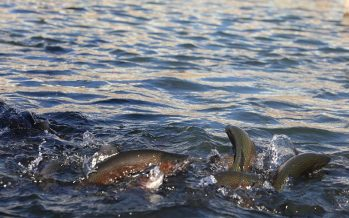 Hatcheries in Helmand Produce 1,350 Tons of Fish Annually