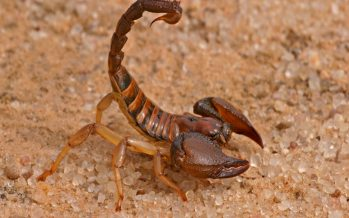 First Ever Scorpion Venom Production in Afghanistan