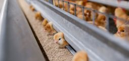 Afghan Poultry Industry Meets 80% of Local Needs