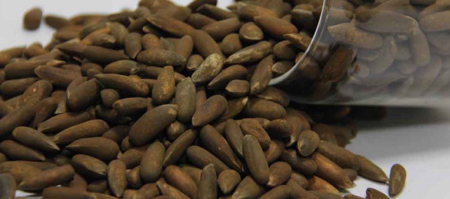 Exports of Afghan Pine Nuts to China Resume