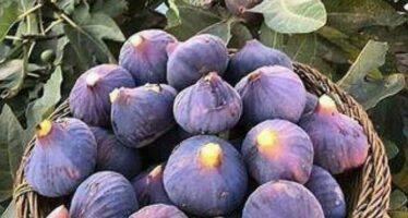 Increase in Figs Production in Herat, Kandahar & Faryab