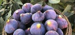 Increase in Figs Production in Herat, Kandahar & Faryab