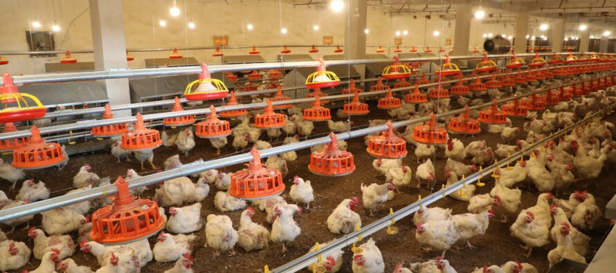 Afghanistan Produces Over 260,000 Tons of Chicken Meat Annually