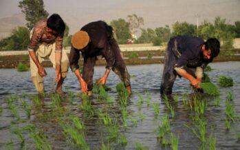 Photo Album: Farmers in a Rice Field in Mehtarlam, Laghman