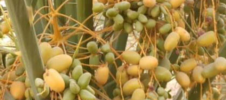 50% Increase in Dates Yield in Farah Province